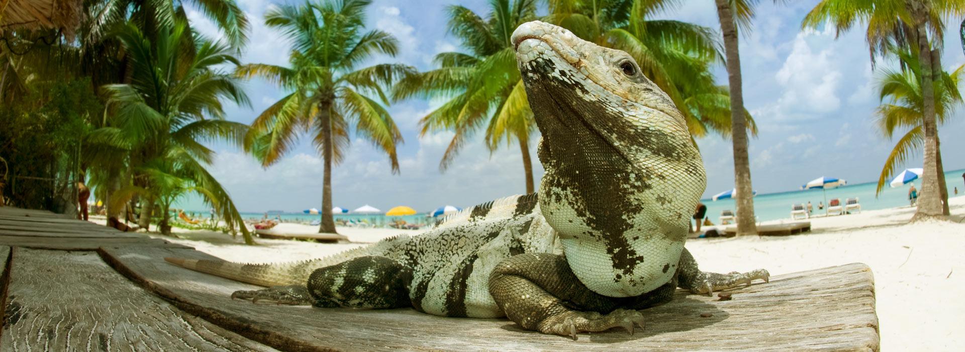 iguana_on_the_caribbean_beach_isla_mujeres