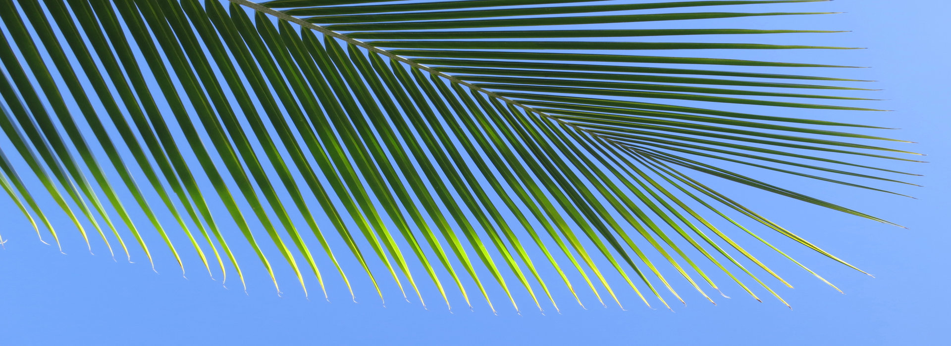 leaf_of_a_coco_palm_and_cloudless_blue_sky_barra_inhambane_mozambique_southern_africa