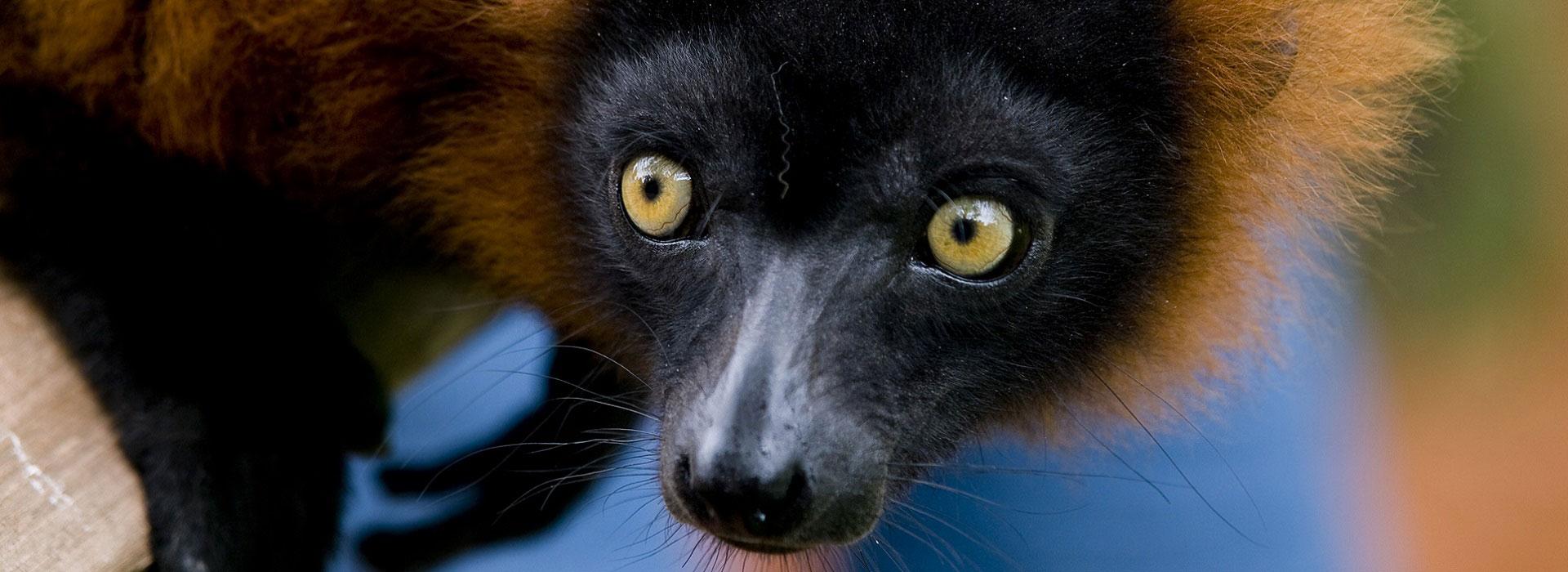 lemure_madagascar
