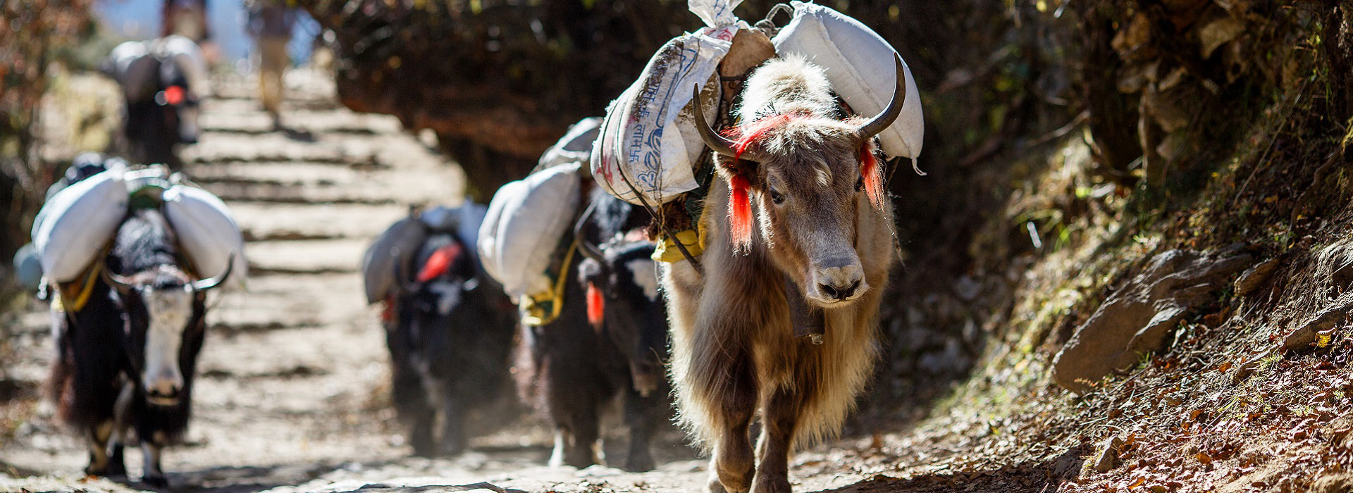 yaks_carrying_weight_in_nepal