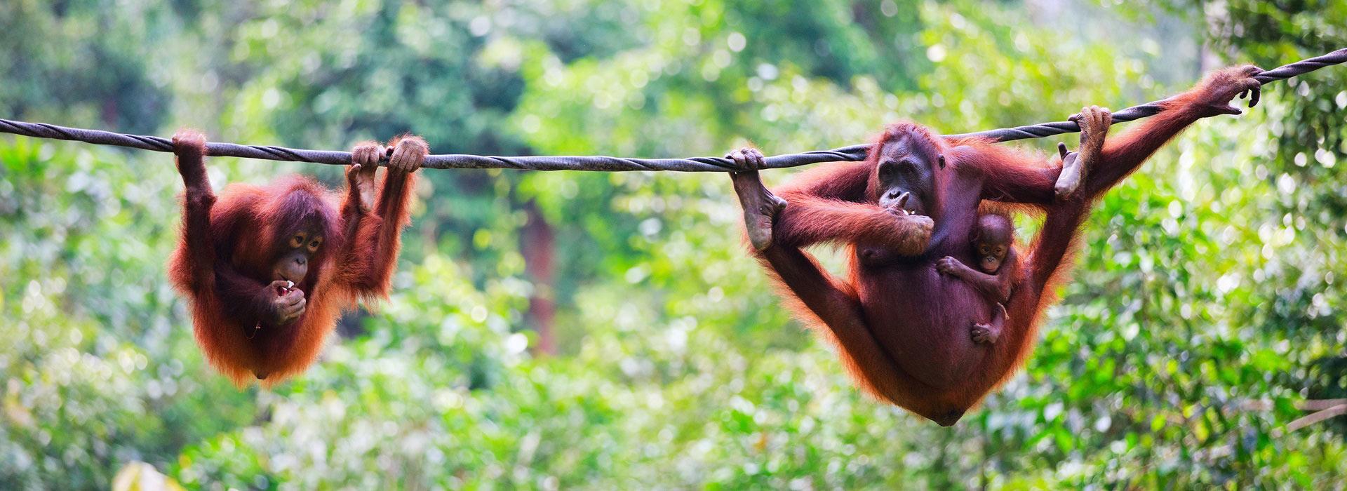 orangutans_sabah_borneo