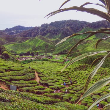 Cameron Highlands | Top 3 Penisola Malese & Singapore